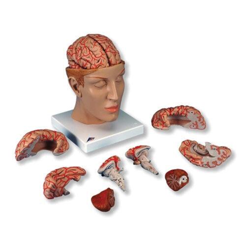 Πρόπλασμα Ανθρώπινου Εγκεφάλου C25